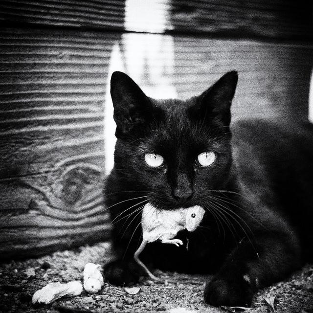 貓抓老鼠吃