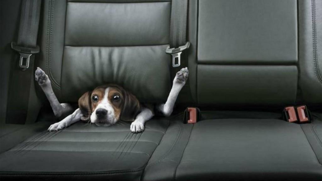 害怕搭車的狗