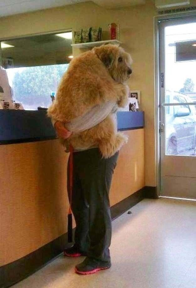 A big dog being comforted during a checkup at the vet.