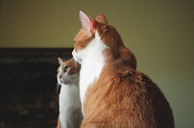 貓咪照鏡子
