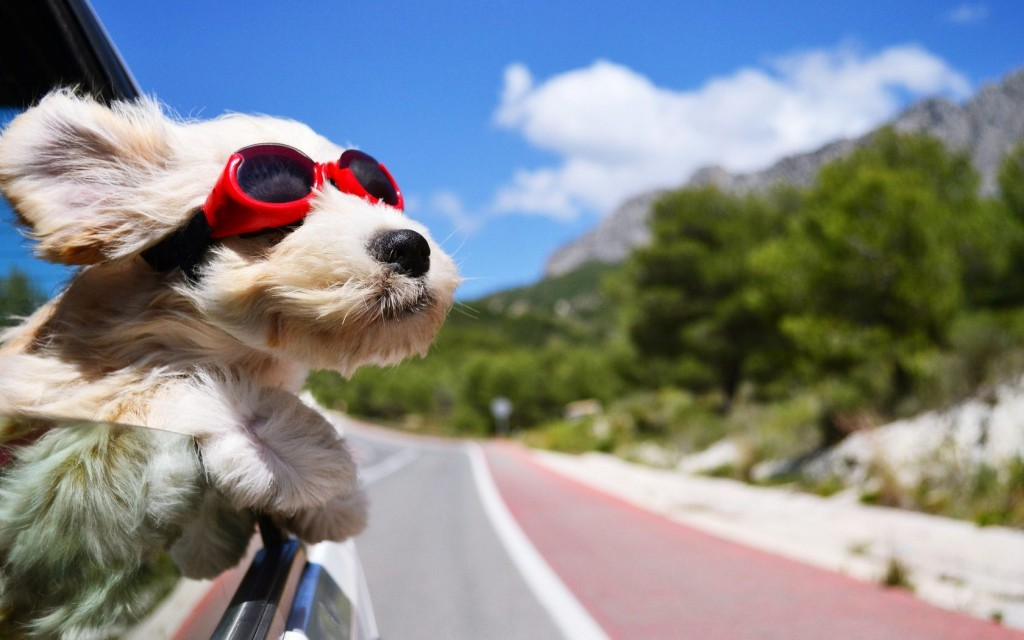 Dog In Car Wearing Cool Sunglasses Images