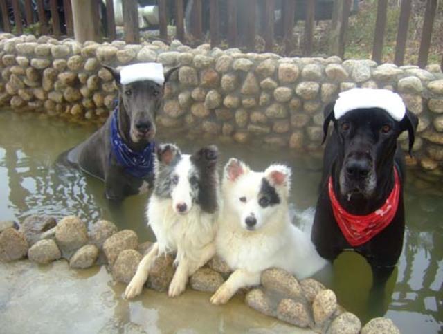 泡溫泉的狗狗們