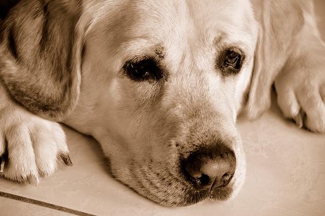 Heart-broken, sad dog