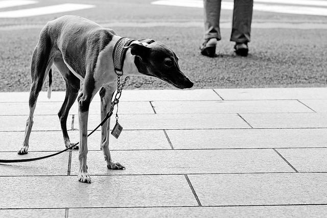 Italian Greyhound Are Scared / 怯えているイタリアン・グレイハウンド