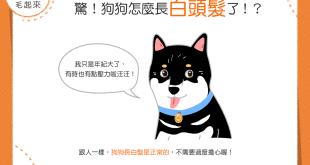【汪汪知識加】驚!狗狗怎麼長白頭髮了?!難道生病了嗎?