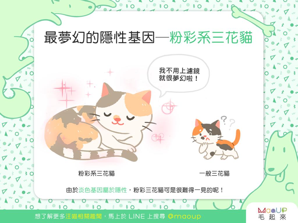 【喵喵小百科】貓界的夢幻美貓~粉彩系三花貓是怎麼來的呢?