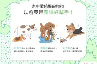 家中愛偷懶的狗狗,以前竟是農場好幫手?!