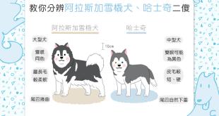 【汪汪小百科】阿拉斯加雪橇犬、哈士奇二傻怎麼分?