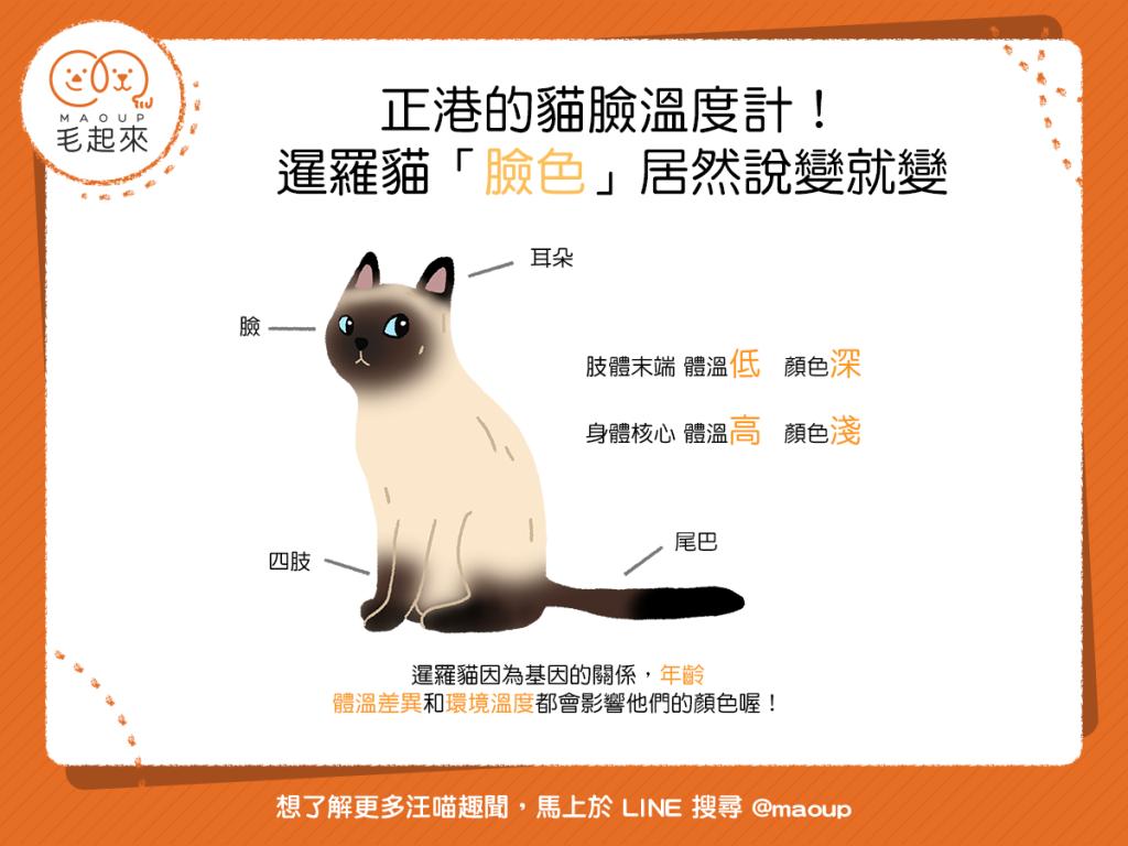 【喵喵冷知識】正港的貓臉溫度計! 暹羅貓「臉色」竟然說變就變