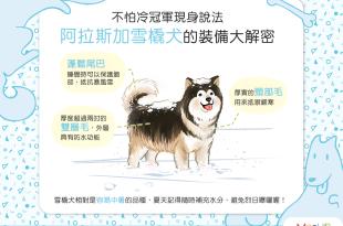 雪地中的行動暖爐,阿拉斯加犬耐寒大解密!