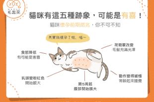 【MaoUP知識王】貓咪懷孕五大跡象!懷孕前期徵兆大公開